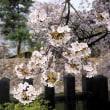 ★初々しい若葉と松本城の遅咲きの桜(1) 2018