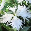 【カワラナデシコ(白花種)】Dianthus superbus var. longicalycinus 花弁の先が裂けて細かく風にあおられると揺れる優雅