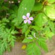 つぼみと小さい花