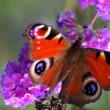 クジャクチョウ・・・久し振りの日差しに蝶が舞った
