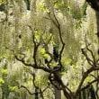 足利フラワーパーク  (白い藤)