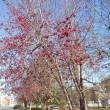 赤い実の生る木