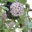 Lcシエラスカイズ レオネ と ローズピンクのミディカトレア