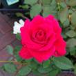 緊急速報!薔薇の大株苗入荷しました!