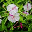白粉花(おしろいばな)という花
