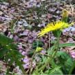 ニホンタンポポが咲く、散歩道