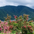 サルスベリ   百日紅の丘で
