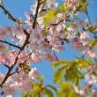和田町なの花まつり(南房総市)