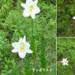 テッポウユリの花は