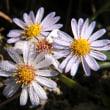 ラッキョウの花や野菊たち