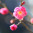我が家の紅梅咲き始めました。
