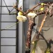 枝垂れ梅が咲いた