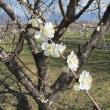 Prunus davidiana ❛Haru-no-Yuki❜