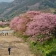 従姉妹から届いた河津桜の写真です