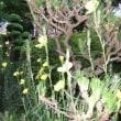 宵待草の花