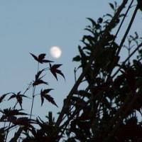 紅葉伐る空に十三夜の早月