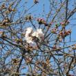 安部山公園のサクラ 開花ですよ 180323