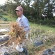 夏野菜畑の片ずけ