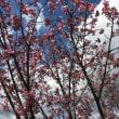 稽古場の桜3・23