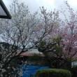 蜂須賀桜満開