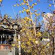 今年も雷電神社の蝋梅の花を見てきました
