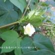 綿(ワタ)の花