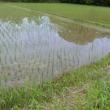 今日の田圃