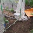 6月21日・つるなしインゲン初収穫しました!
