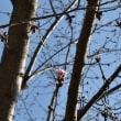もうすぐ蜂須賀桜