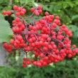 エゾニワトコの赤い実は小鳥も食べない?!