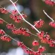 マンサクの花にメジロとアオジ