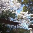 桜が咲き出す