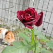 黒いバラが咲いたよ
