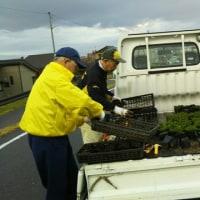 芝桜400株を補植