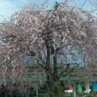 軽井沢の桜