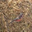 数は少ないけれど、赤い鳥はよく見かけるベニマシコ。