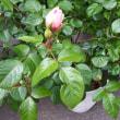 薔薇にむかって ラン
