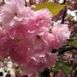 2009年 桜⑥