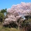大年寺周辺の桜