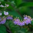 コムラサキの花。きょうの一句「夕凪」