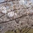 桜も最後かな