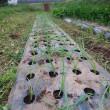 タマネギ栽培に挑戦