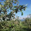 今どきのりんご園風景 -5月26日ー