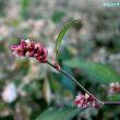 ペルシカリア・ロンギセタ Persicaria longiseta