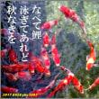 俳句写真1583 なべて鯉
