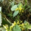 葛根湯の葛(クズ)、マメ科の花いろいろ