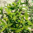 ユーフォルビア・エクシグア Euphorbia exigua
