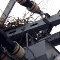 ご丁寧に今年も!電柱の上に、迷惑なカラスの営巣