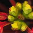 旬の花 ポインセチア