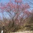 2018 七折梅まつり 2分咲き